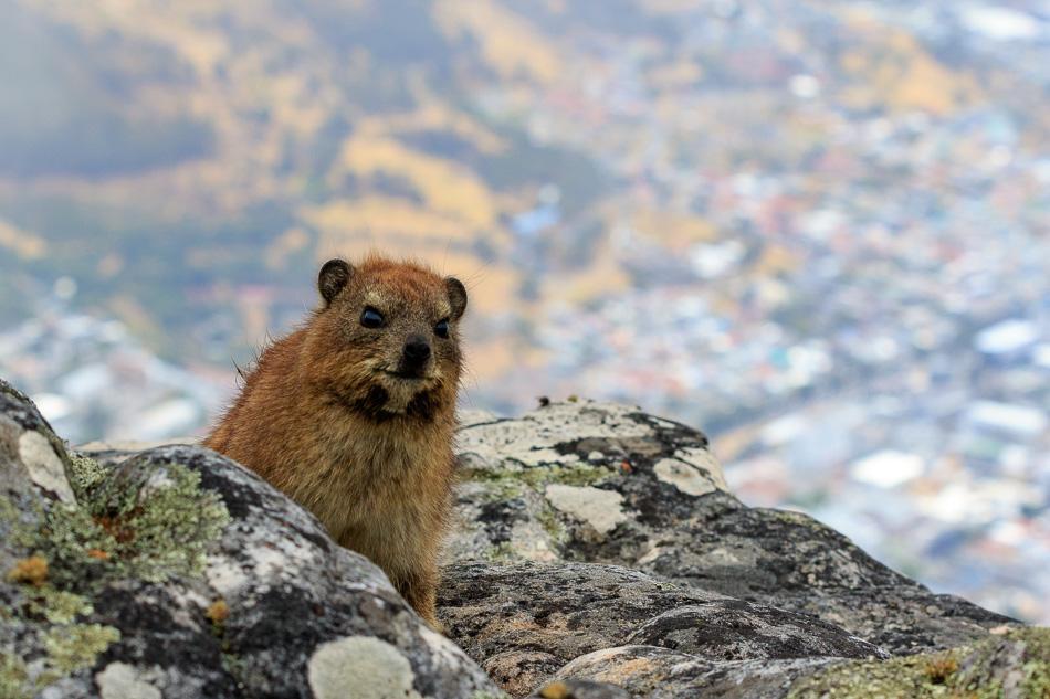 Klipdas | Tafelberg, Kaapstad, Zuid-Afrika, 3 december 2018