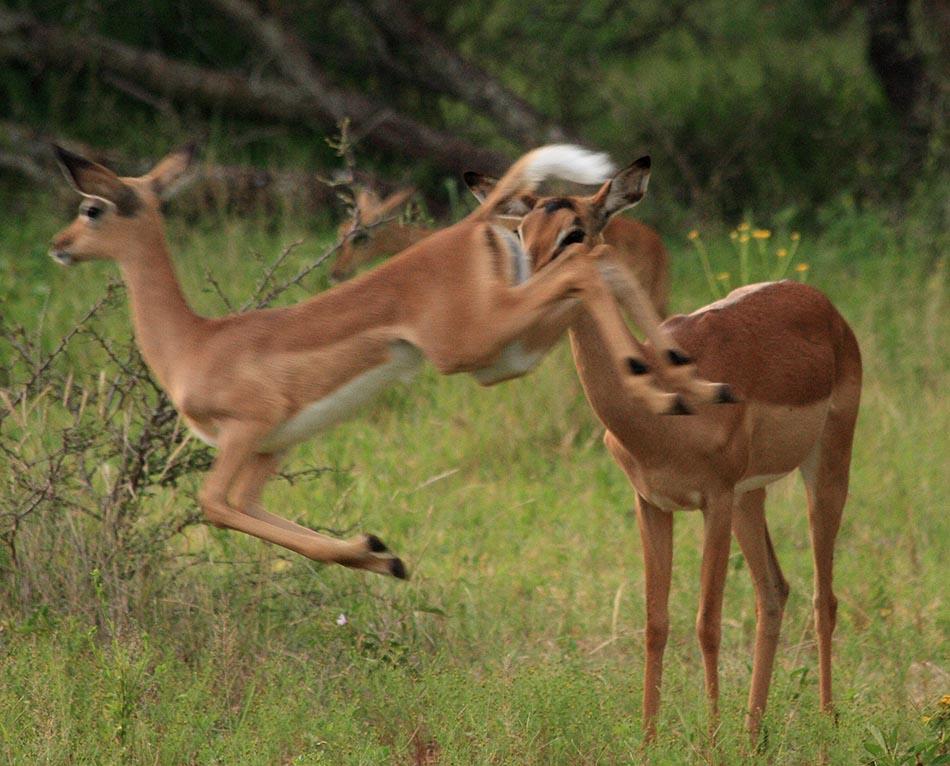 Impala's | Edeni Game Reserve, 2 januari 2008