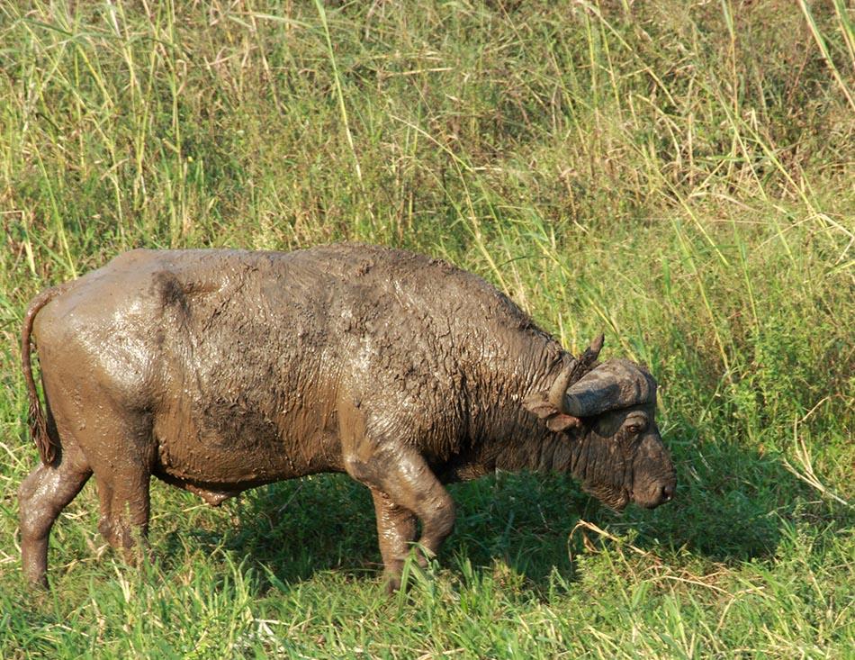 Buffel | Hluhluwe-Imfolozi, 13 januari 2008