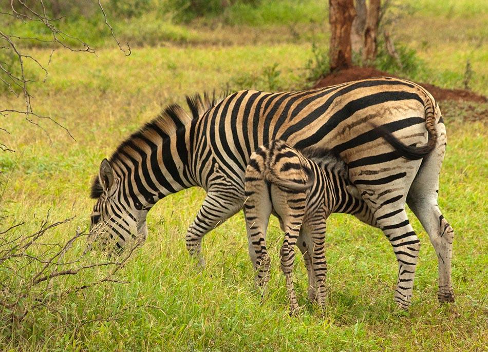 Zebra   Krugerpark, 9 januari 2008
