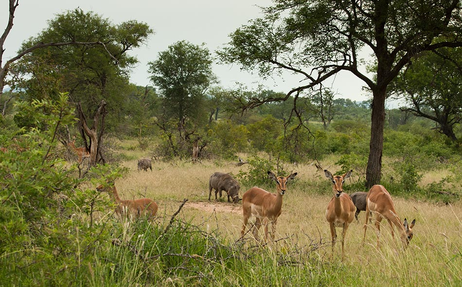 Impala's |Krugerpark, 7 januari 2008