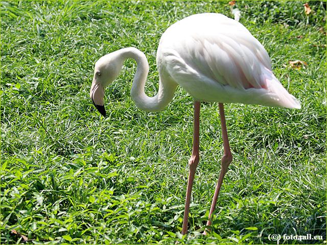 Flamingo | Maleisië