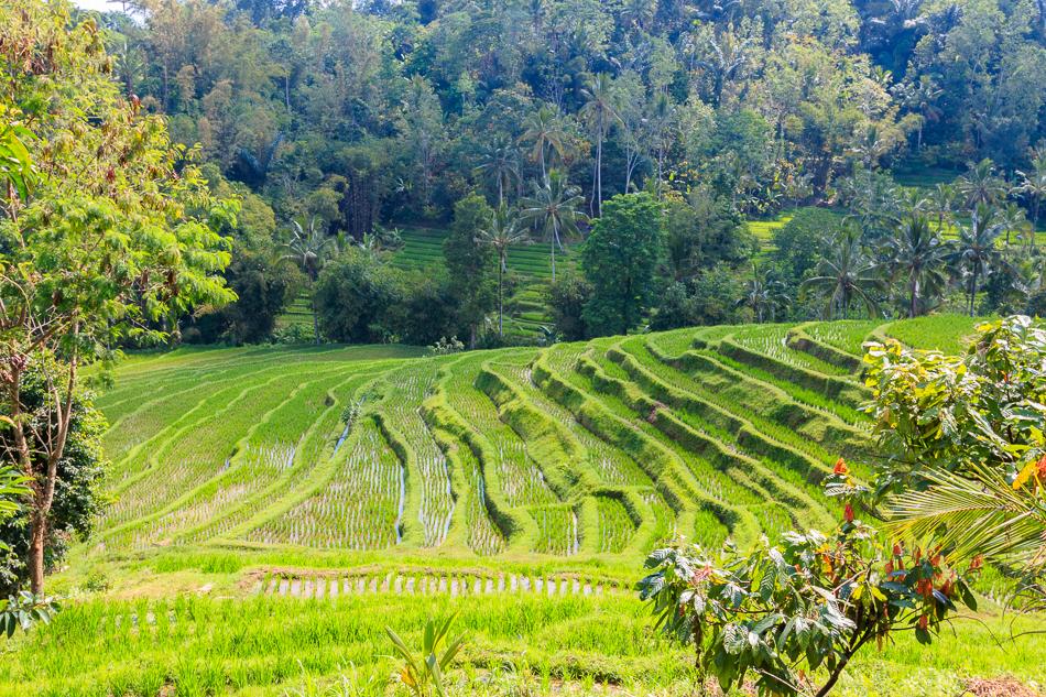 Rijstvelden |Wongayagede, Bali, 4 oktober