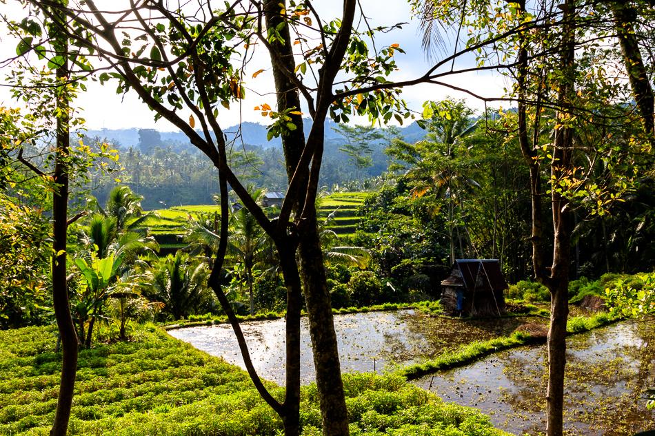 Rijstvelden | Bali, 7 oktober 2013