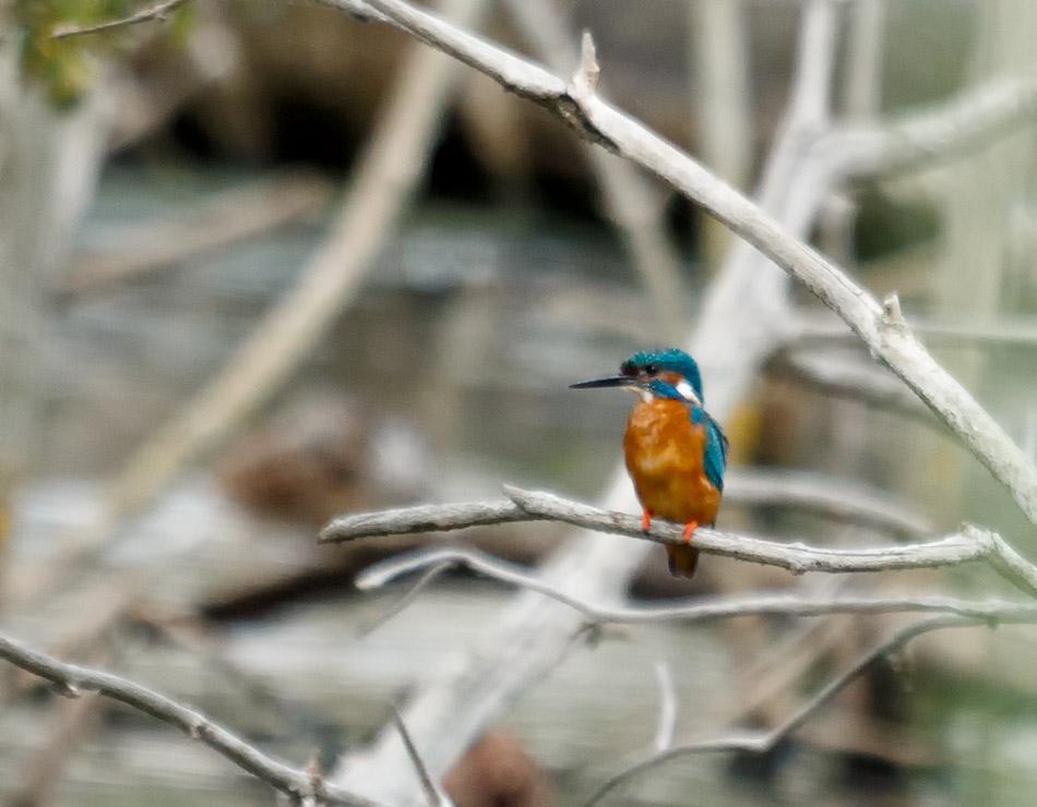 Malachietijsvogel, Krugerpark, Zuid-Afrika