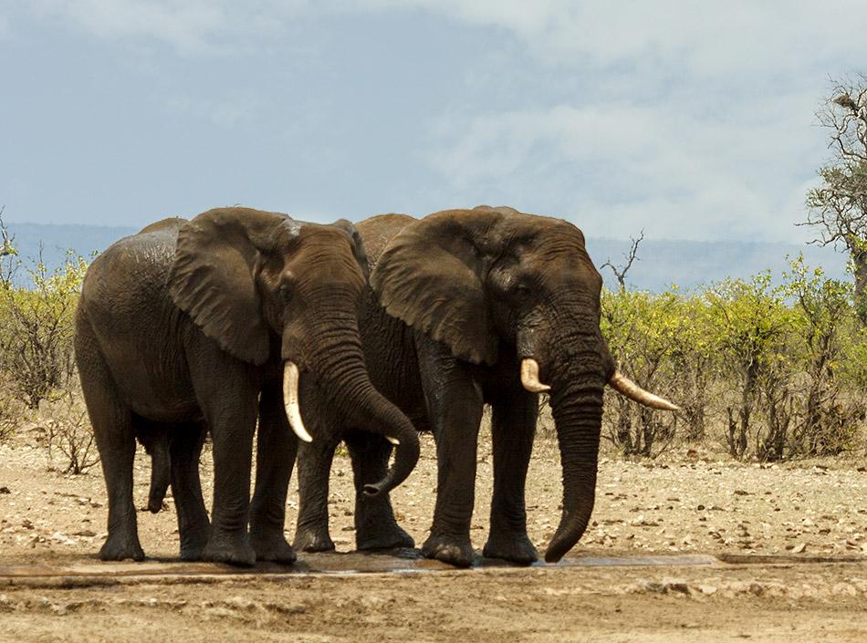 Olifanten | Krugerpark, Letaba Restcamp – 23 november 2014