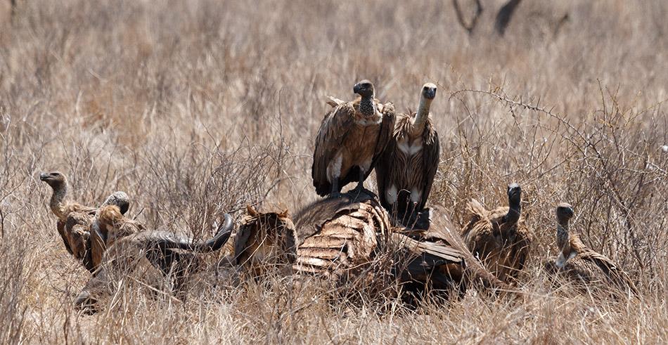 Witruggieren | Krugerpark, Olifants Restcamp – 24 november 2014