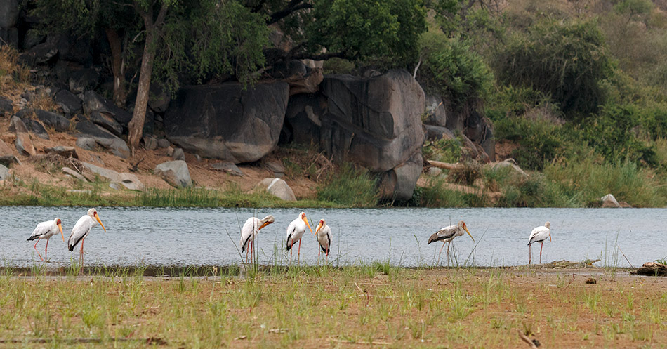 Afrikaanse Nimmerzats | Phalaborwa, Rivier Safari – 27 november 2014
