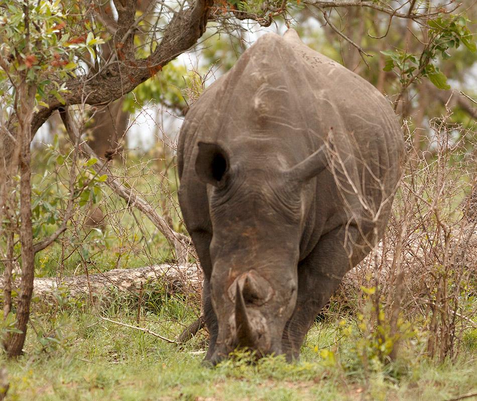 Neushoorn | Krugerpark, Phabeni gate – 17 november 2014