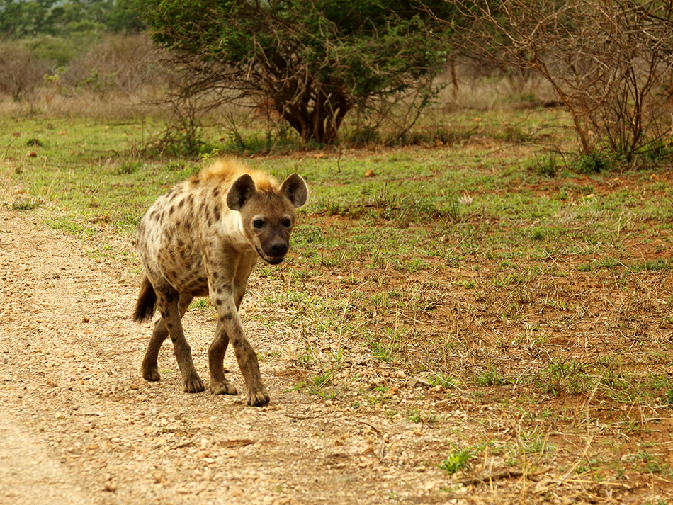 Hyena | Krugerpark, Lower Sabie restcamp – 19 november 2014