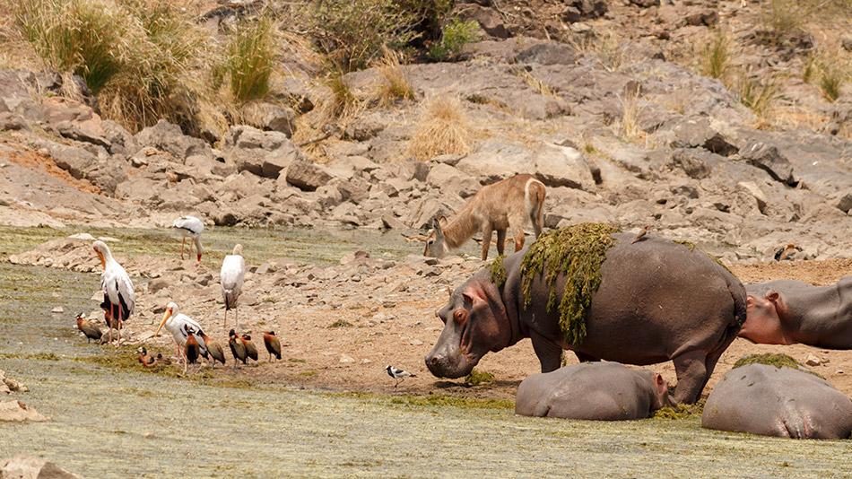 Nijlpaard | Krugerpark, Satara restcamp – 20 november 2014