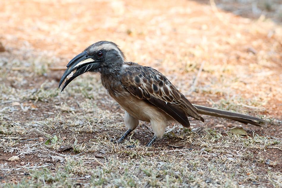 Grijze tok | Krugerpark, Satara restcamp – 20 november 2014