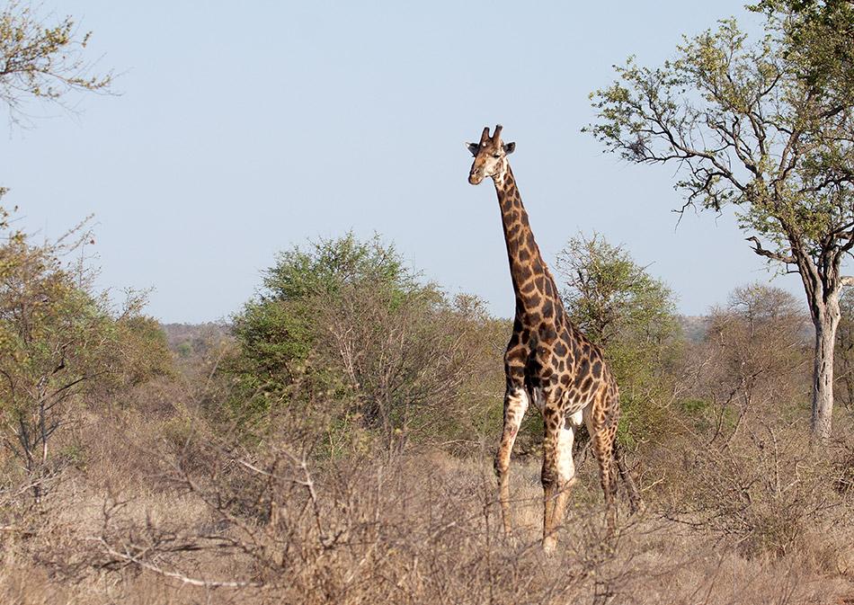 Giraffe | Krugerpark, Satara restcamp – 20 november 2014