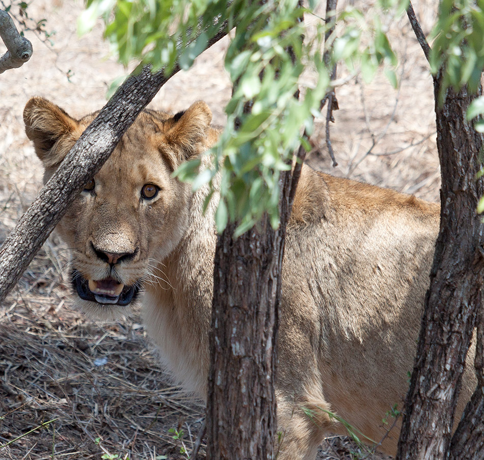 Leeuw | Krugerpark, Satara restcamp – 20 november 2014