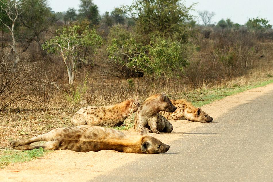 Hyena | Krugerpark, Satara restcamp – 21 november 2014