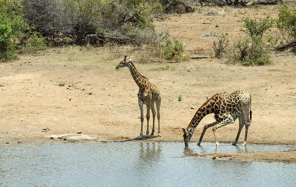 Giraffen | Krugerpark, Satara restcamp – 22 november 2014