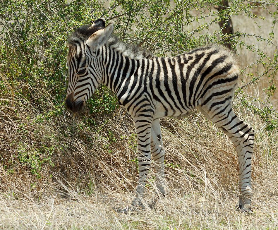 Net geboren zebra | Krugerpark, Satara restcamp – 22 november 2014