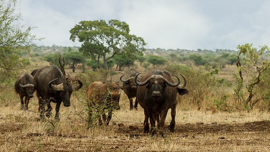 Buffels | Krugerpark, Satara restcamp – 22 november 2014