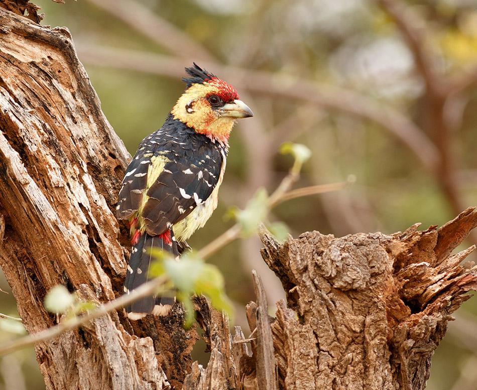 Kuifbaardvogel | Krugerpark, Satara restcamp – 22 november 2014