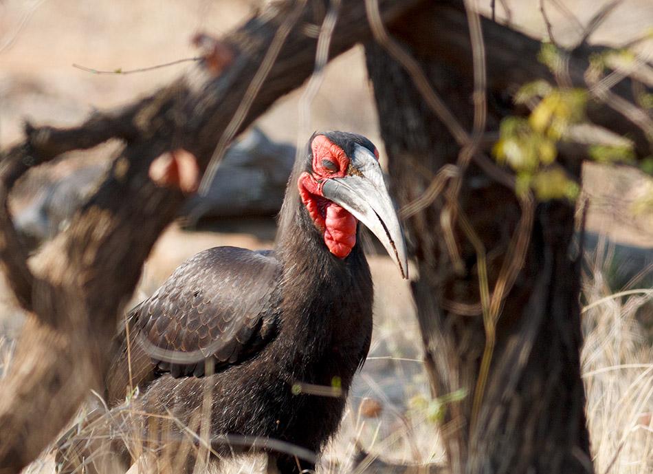 Zuidelijke Hoornraaf | Krugerpark, Letaba Restcamp – 23 november 2014