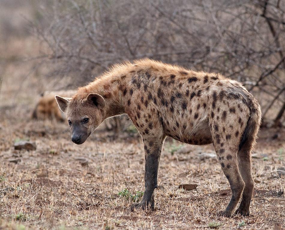 Hyena_Satara