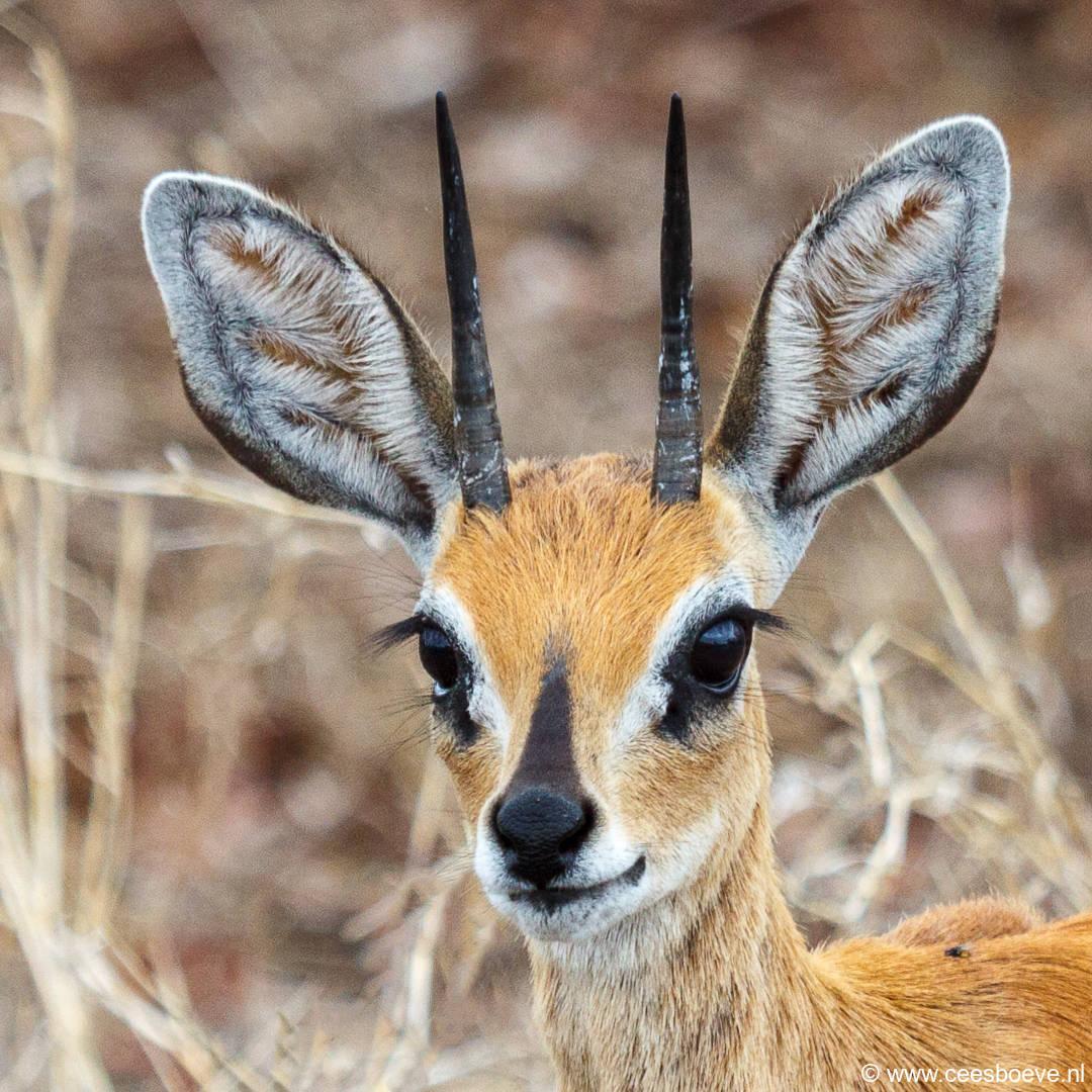 Steenbok | Krugerpark, Satara restcamp – 19 november 2014