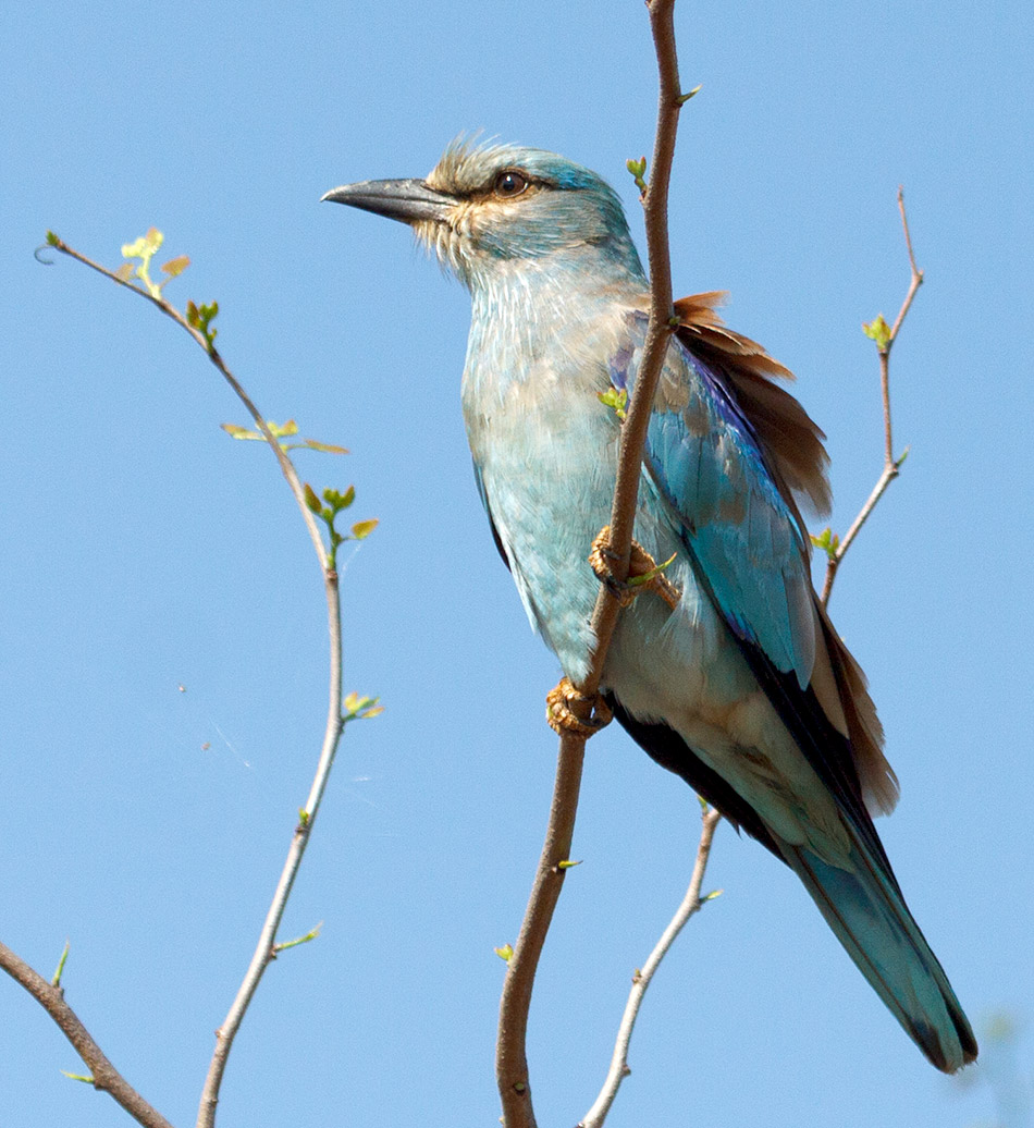 Europese Scharrelaar | Krugerpark, Olifants Restcamp – 23 november 2014