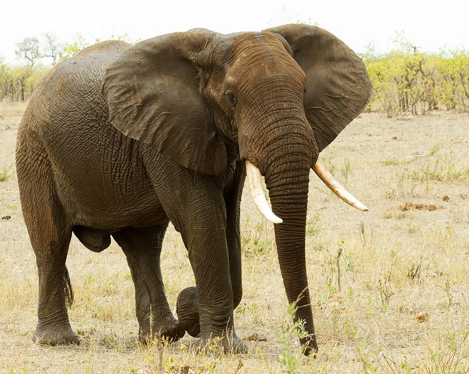 Olifant | Krugerpark, Letaba Restcamp – 23 november 2014