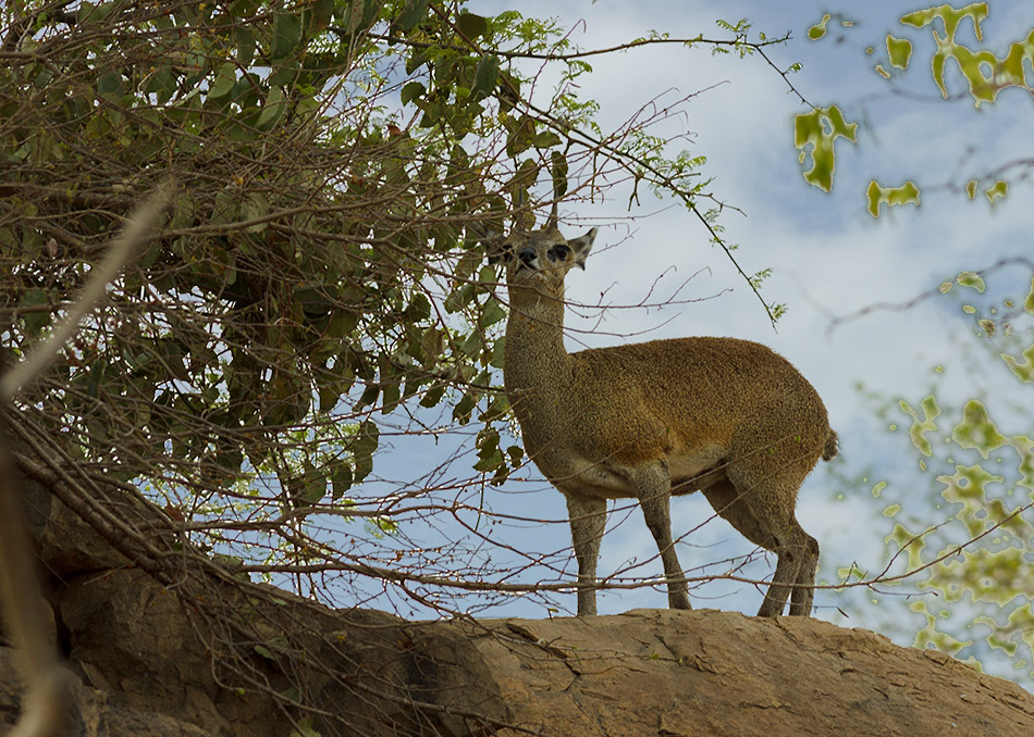 Klipspringer | Krugerpark, Olifants Restcamp – 25 november 2014