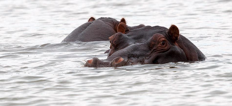 Nijlpaarden | Phalaborwa, Rivier Safari – 27 november 20143