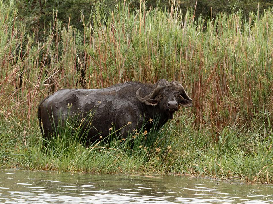 uffel | Phalaborwa, Rivier Safari – 27 november 2014