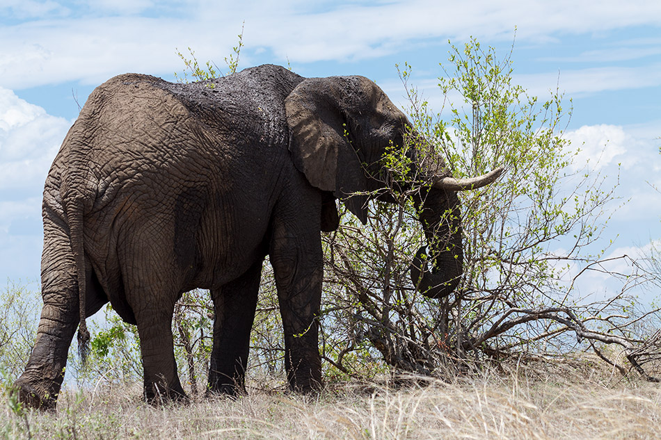 Olifant | Phalaborwa, Silonque Bush Estate – 30 november 2014