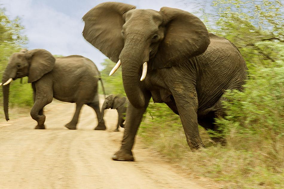 Olifanten moeten even imponeren | Krugerpark, Phabeni gate – 17 november 2014