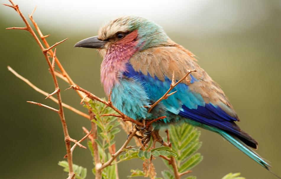 Vorkstaart Scharrelaar | Krugerpark, Lake Panic Hide – 17 november 2014