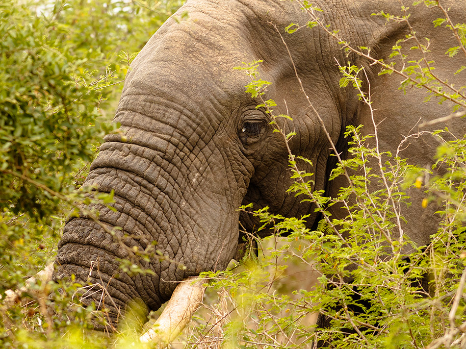 Olifant | Krugerpark, Lower Sabie restcamp – 19 november 2014
