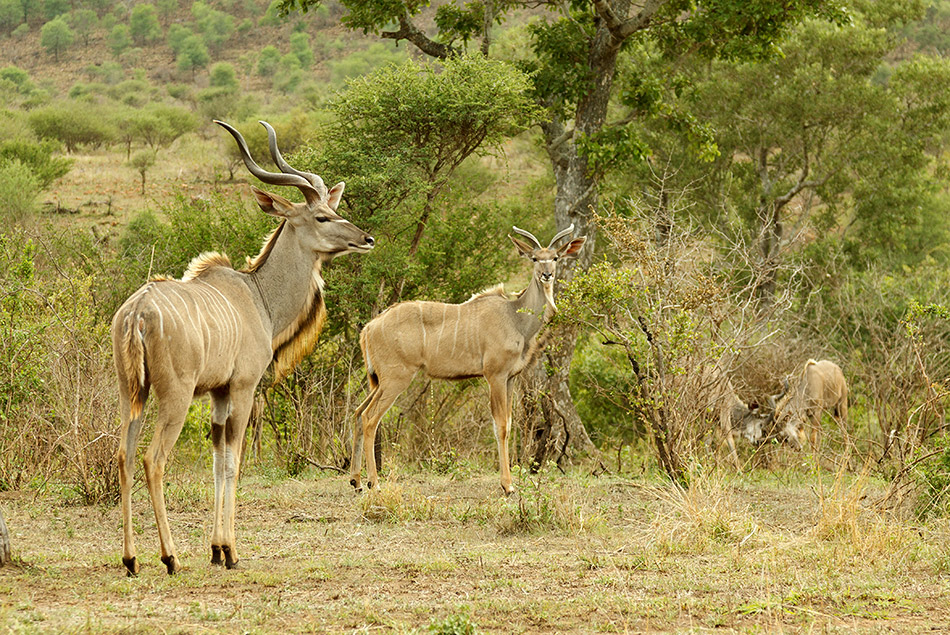 Kudu | Krugerpark, Lower Sabie restcamp – 19 november 2014