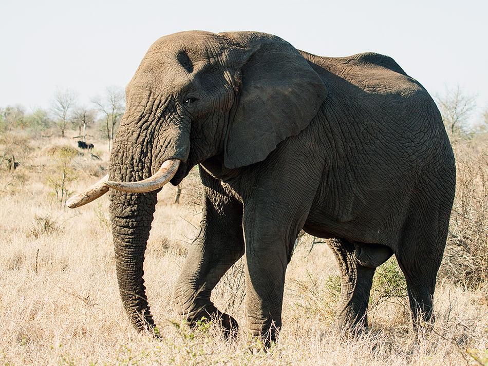 Olifant | Krugerpark, Satara restcamp – 20 november 2014