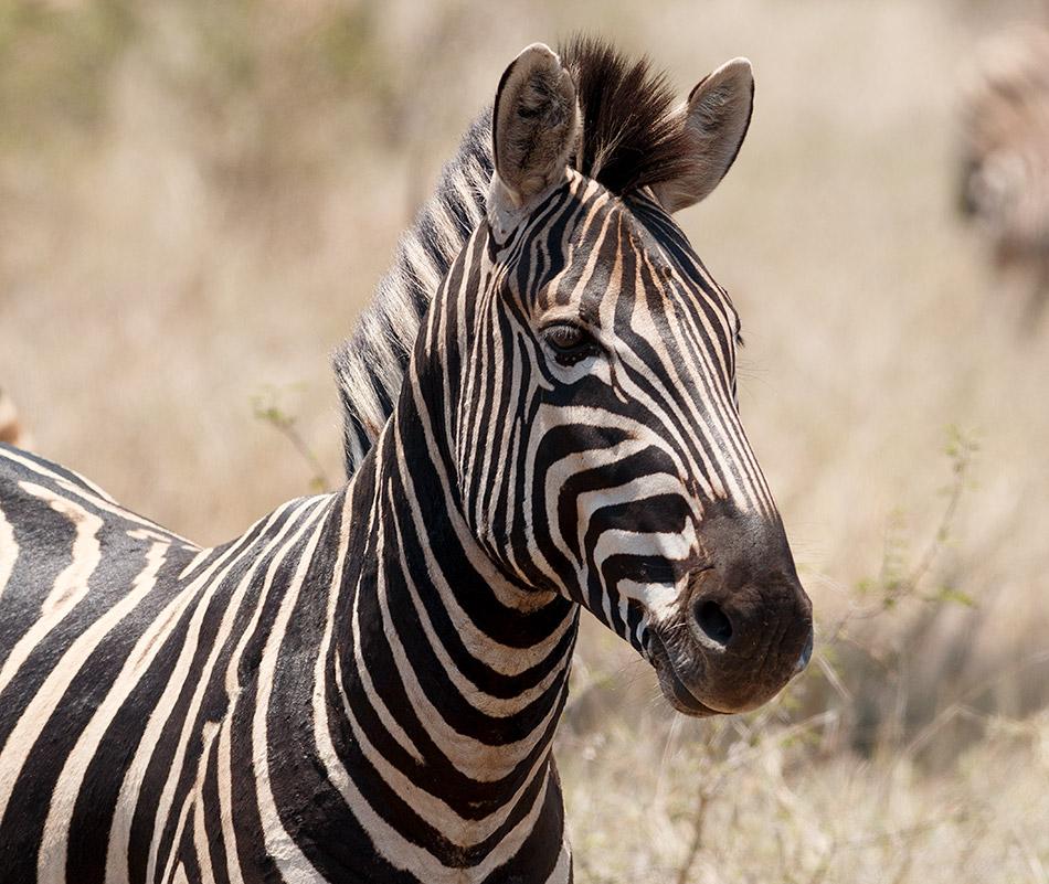Zebra | Krugerpark, Satara restcamp - 20 november 2014