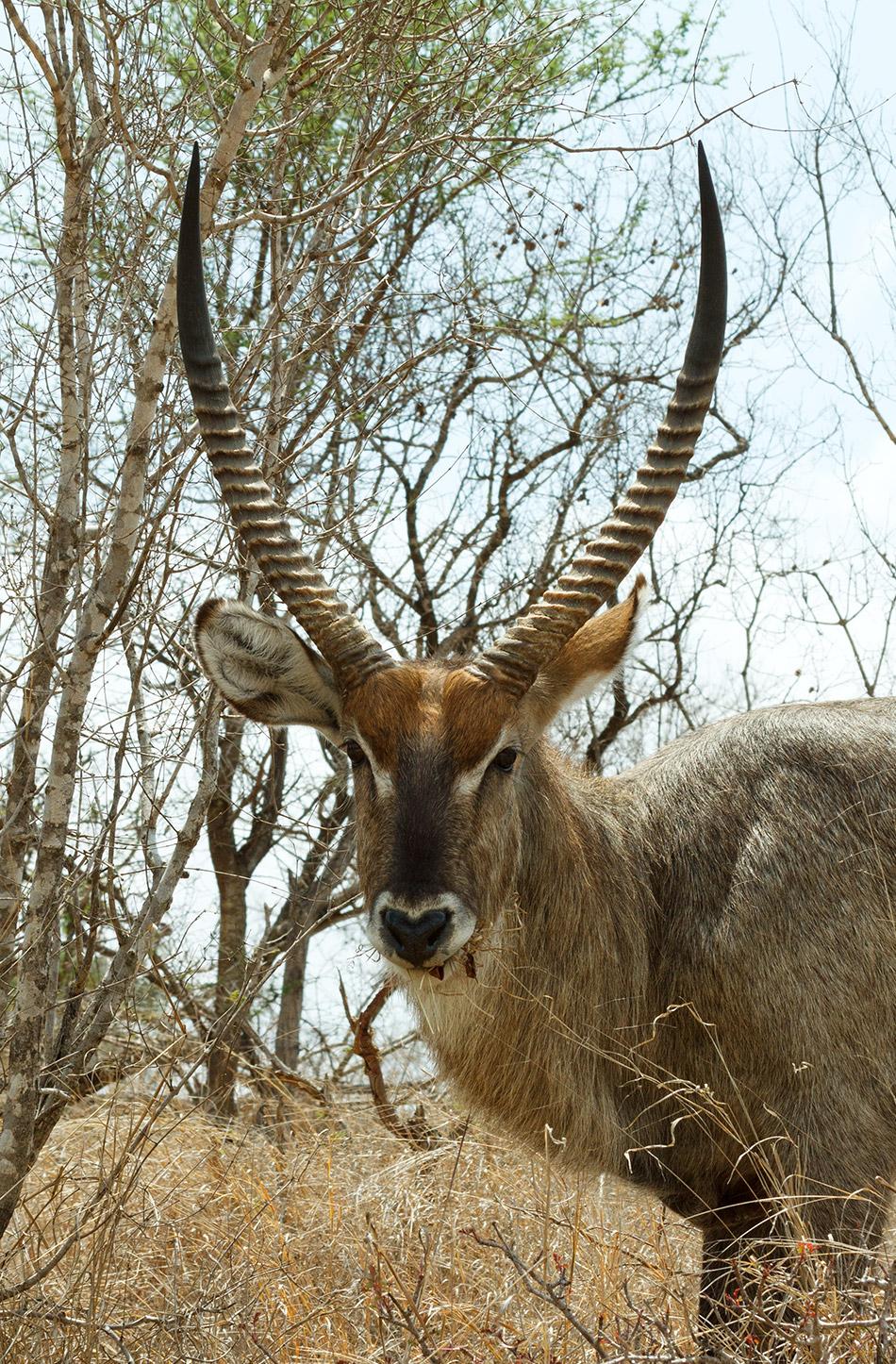 Waterbok | Krugerpark, Satara restcamp – 21 november 2014