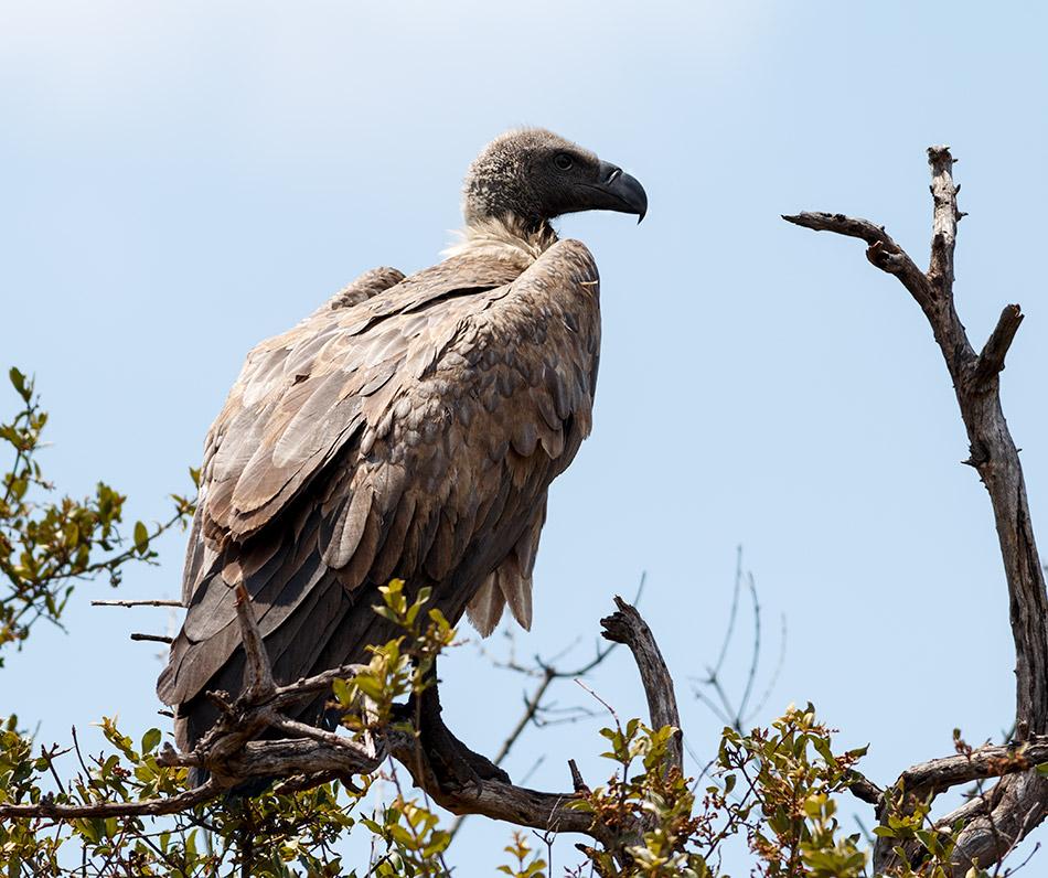 Witruggier | Krugerpark, Satara restcamp – 22 november 2014