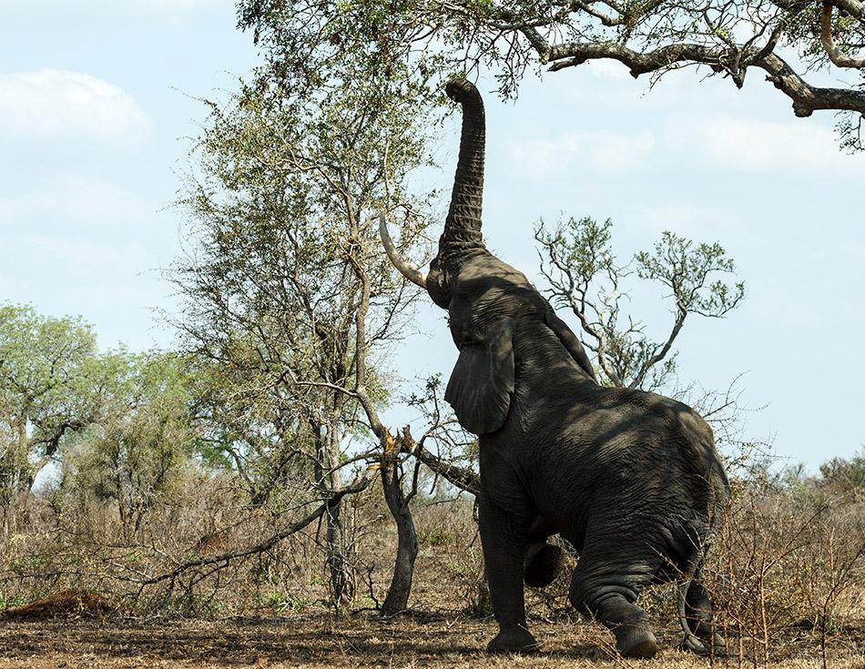 Olifant | Krugerpark, Satara restcamp – 22 november 2014
