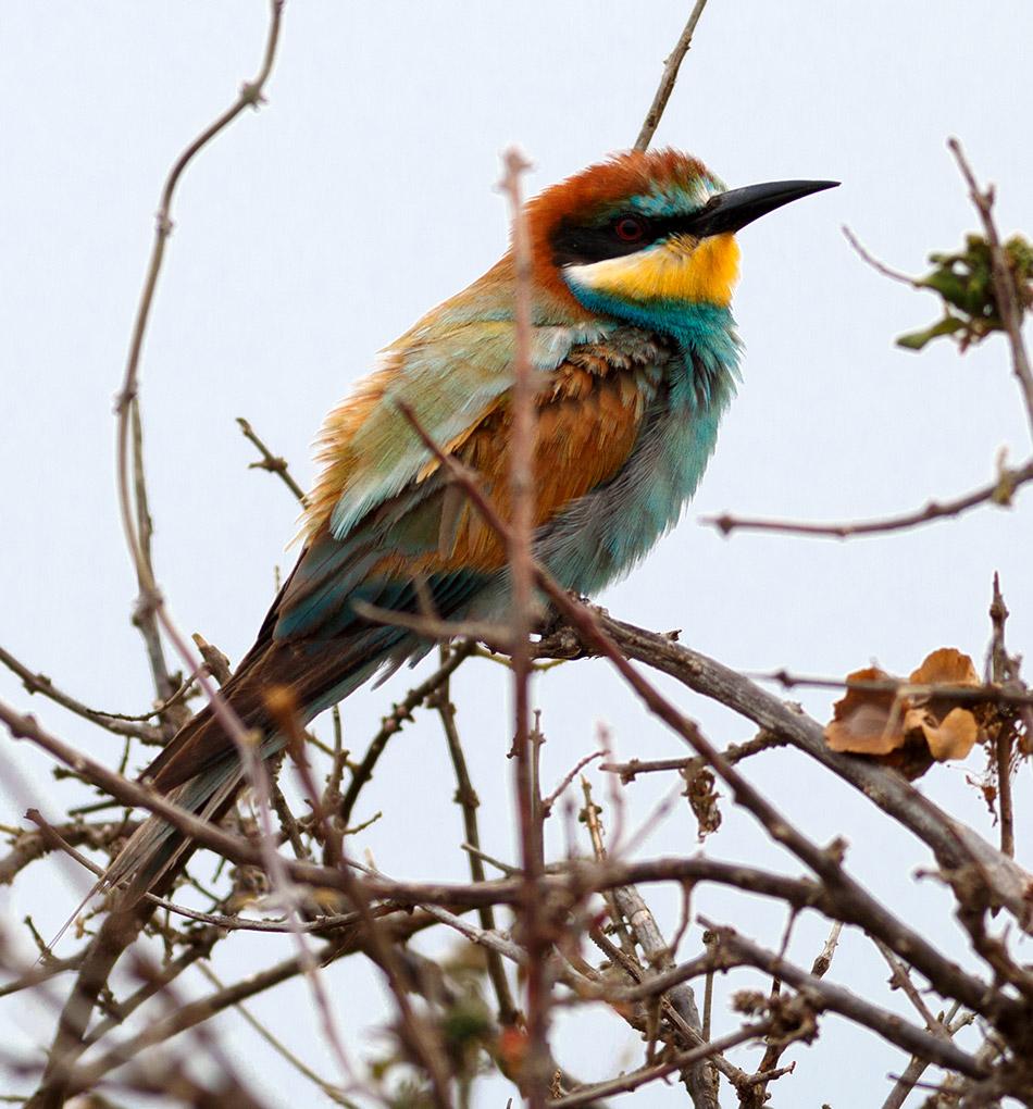 Europese Bijeneter | Krugerpark, Satara restcamp – 22 november 2014