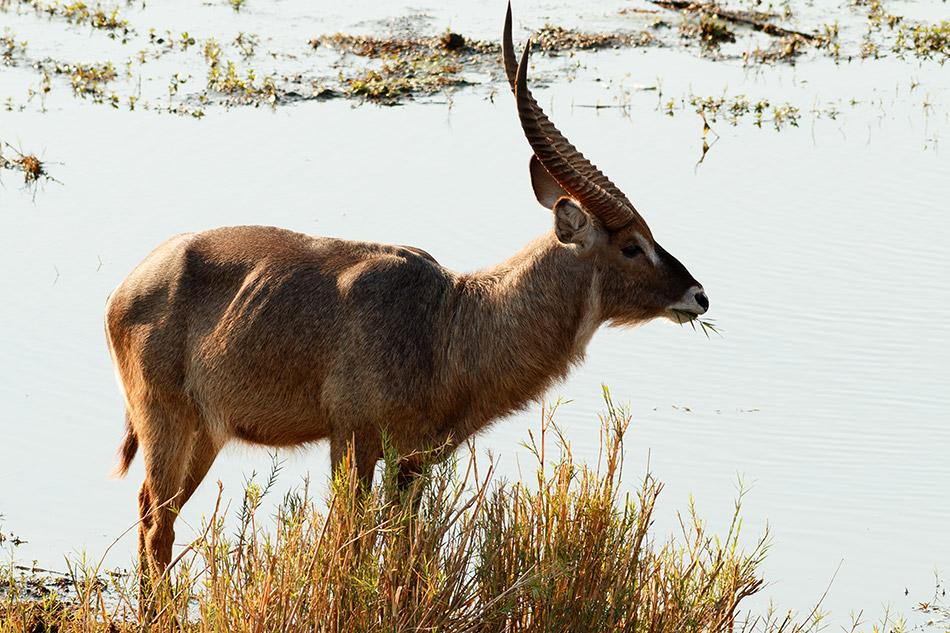 Waterbok | Krugerpark, Letaba Restcamp – 23 november 2014