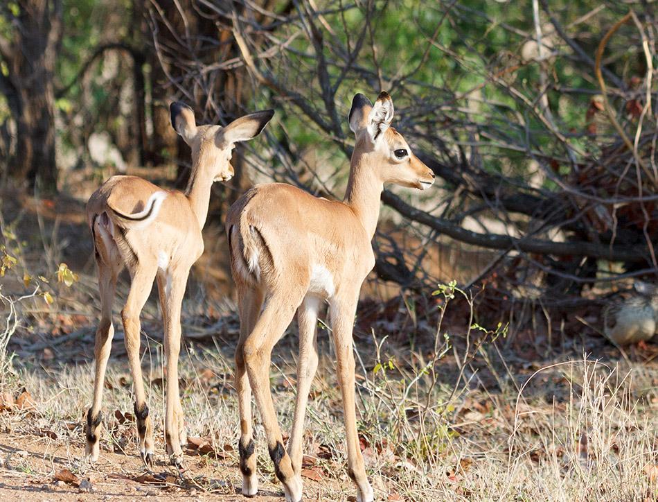 Impala| Krugerpark, Letaba Restcamp – 23 november 20144