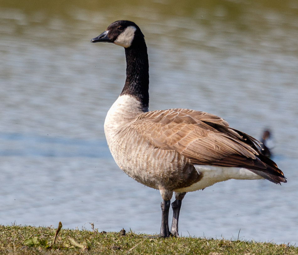 Grote-Canadese gans