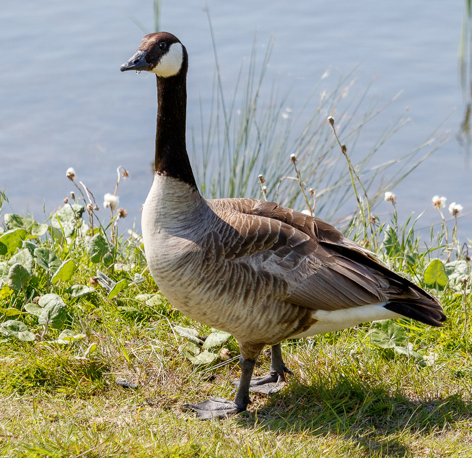 Grote-Canadese-Gans