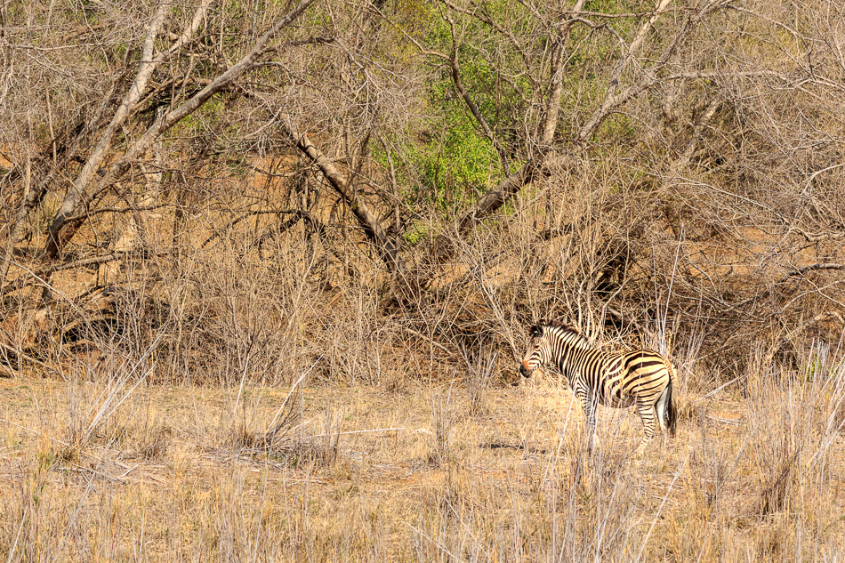 Zebra | Karongwe Game Reserve, 19 december 2018