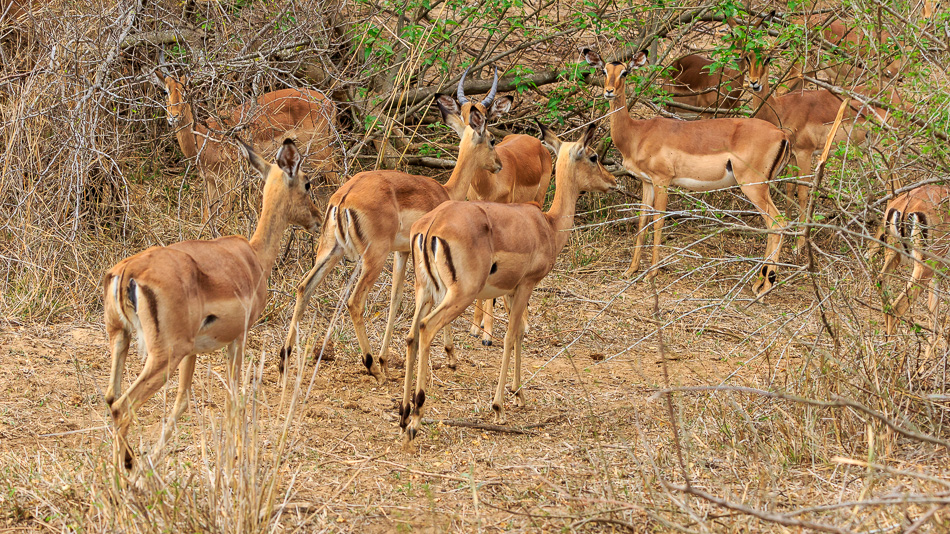 Impala's  | Karongwe Game Reserve, 20 december 2018