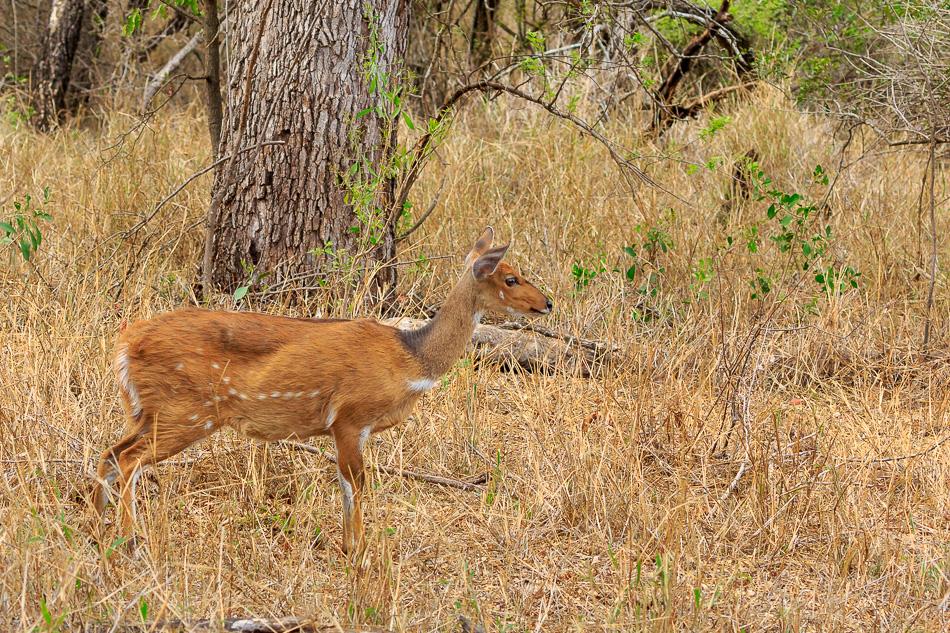 Gewone duiker  | Karongwe Game Reserve, 20 december 2018
