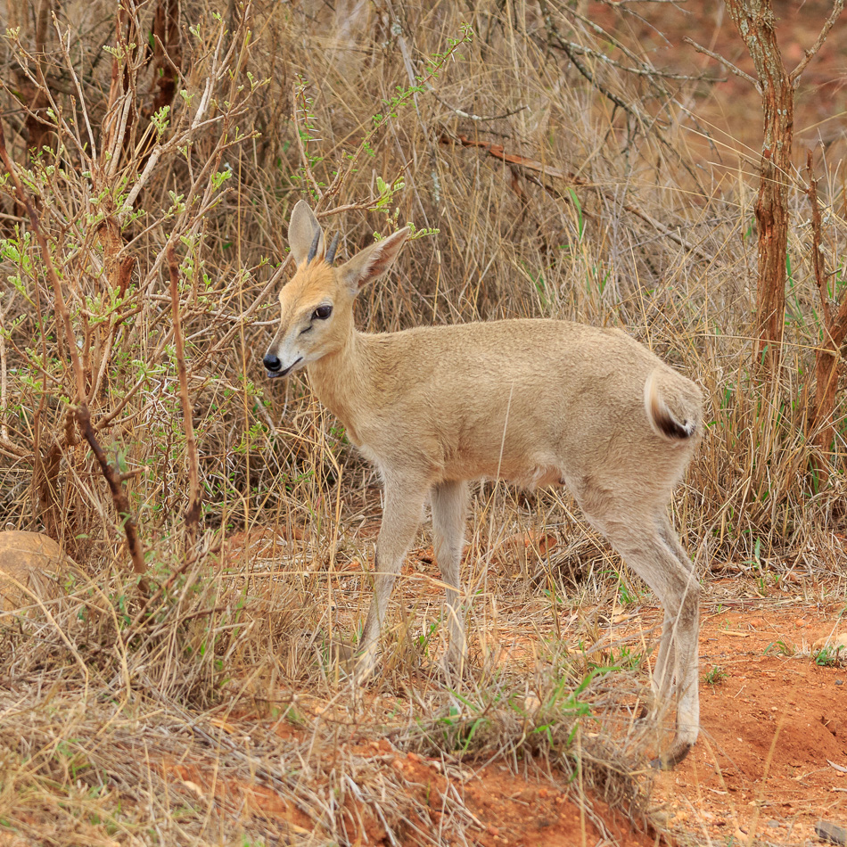 Sharpes grijsbok  | Karongwe Game Reserve, 20 december 2018